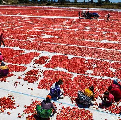 گوجه-خشک-ترکیه-صادرات-ایران-رویشگر